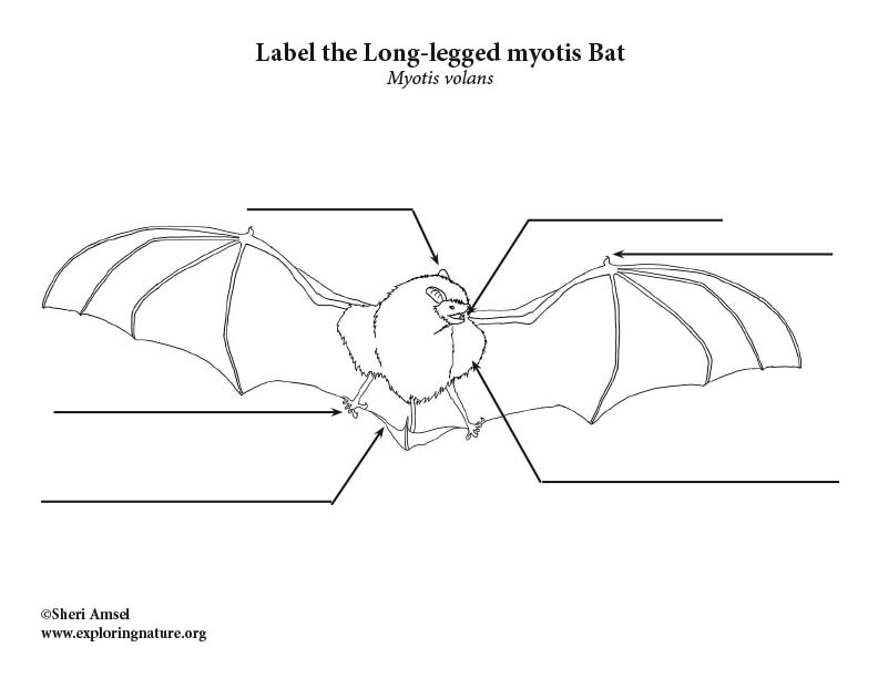 Bat (Long-legged myotis) Labeling Page, Long-legged myotis Bat Labeling Page, Long-legged Bat Labeling Page