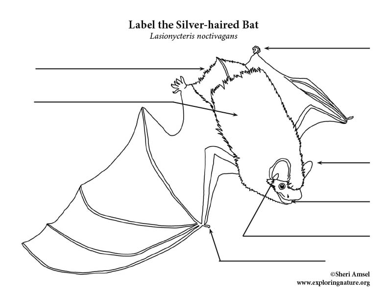 Silver-haired Bat Labeling Page