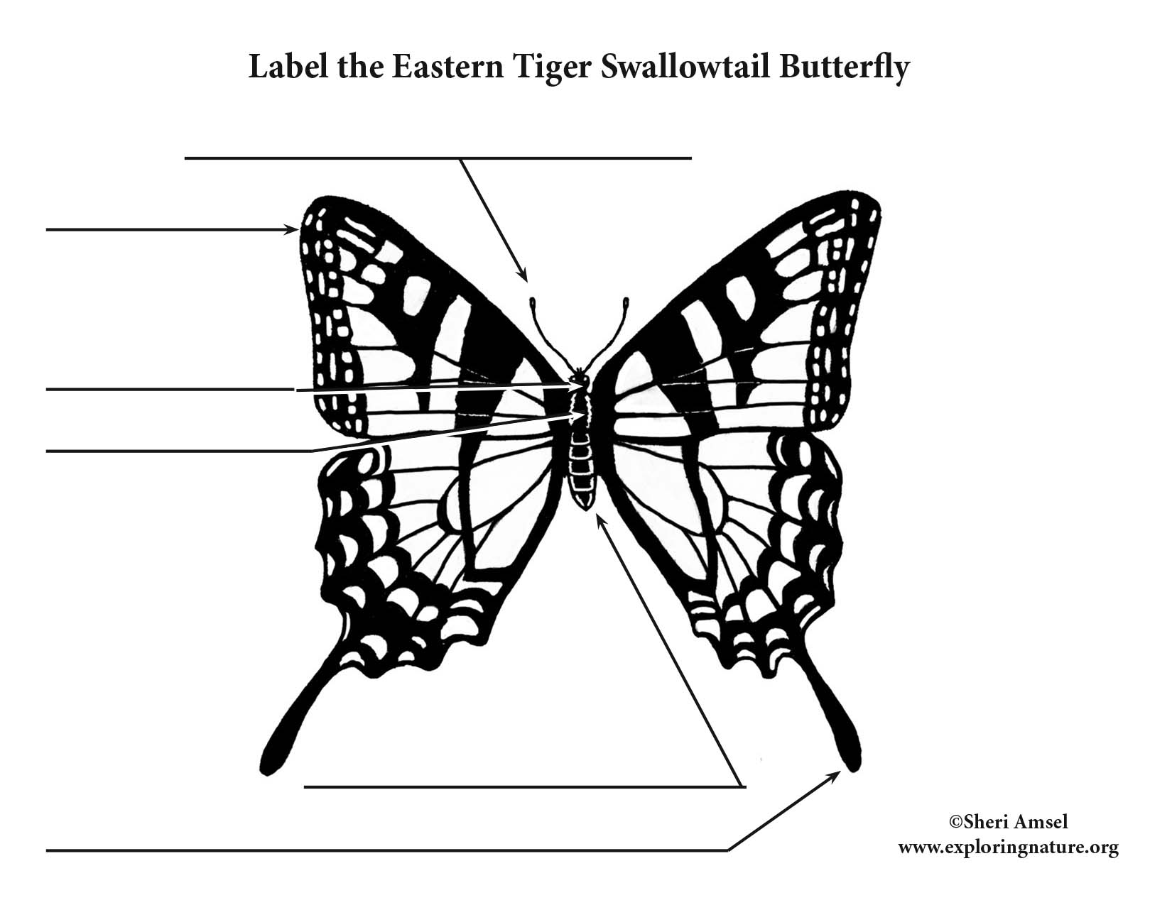 Butterfly  Eastern Tiger Swallowtail  Labeling Page