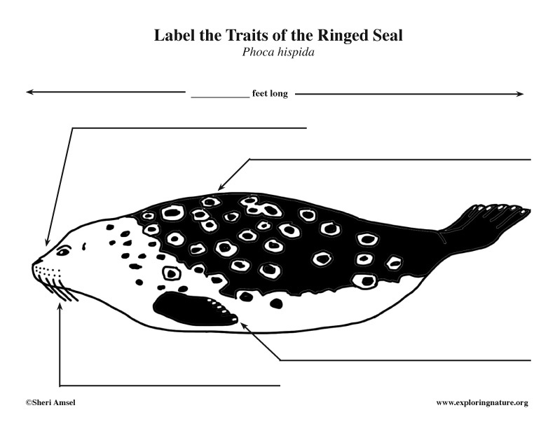 Seal (Ringed) Labeling, ringed seal labeling