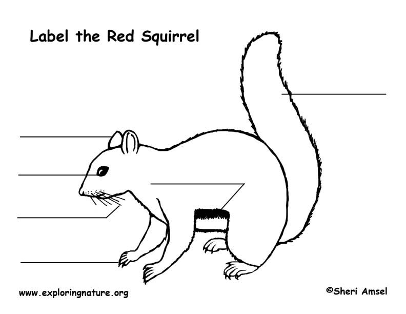 Squirrel (Red) Labeling Page