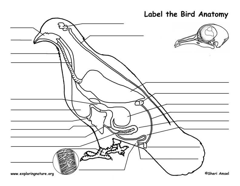 Bird Anatomy Labeling Page