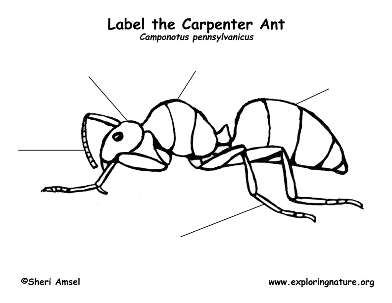 Ant (Carpenter) Labeling Page