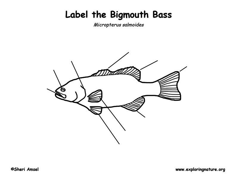 Bigmouth Bass Labeling Page