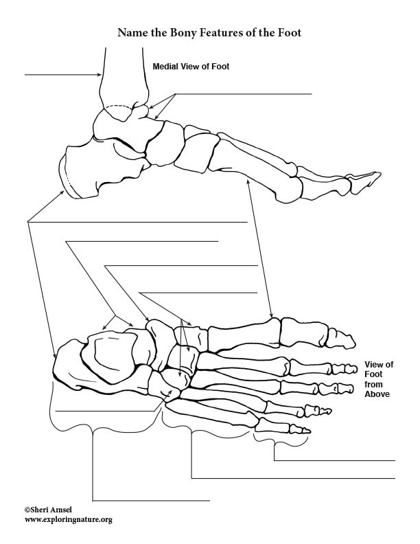 Bones of the Foot Labeling Page