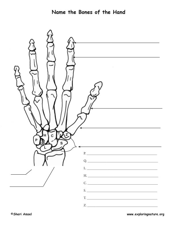 Bones of the Hand Labeling Page