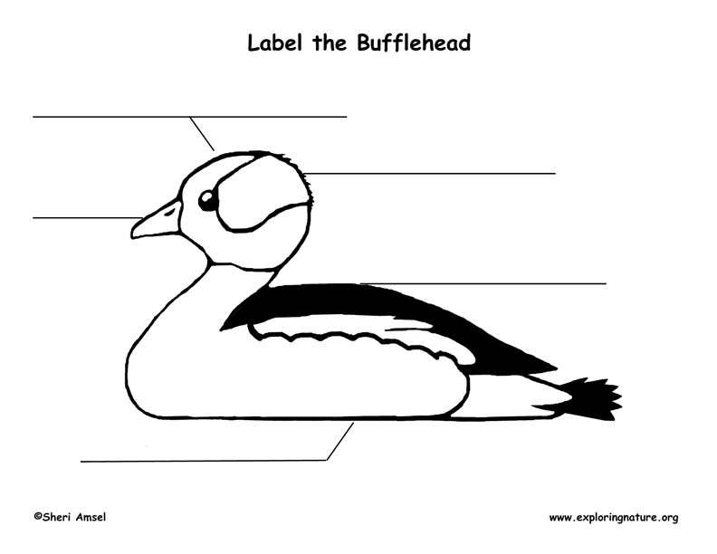 Duck (Bufflehead) Labeling Page