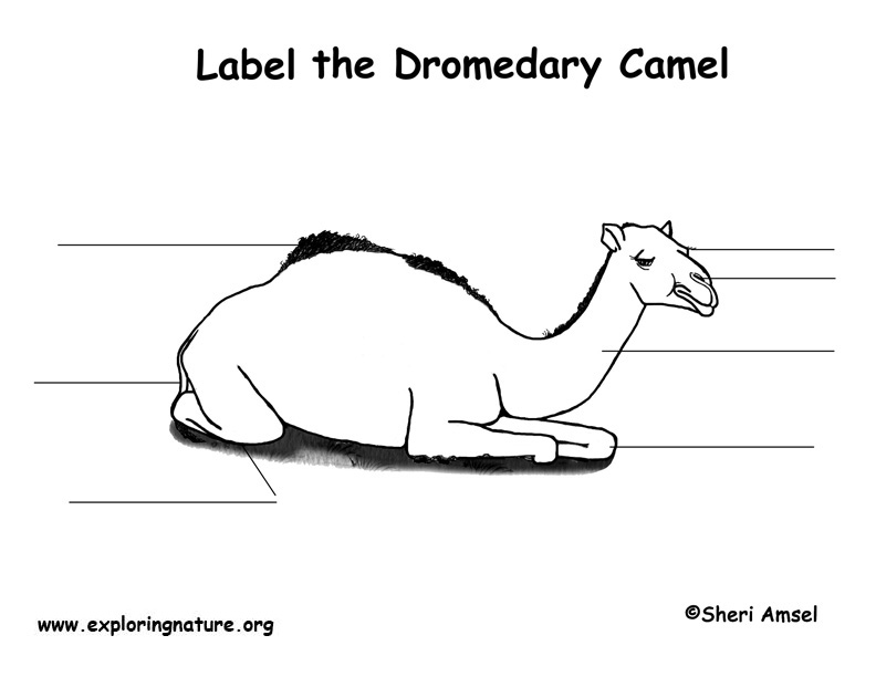 Dromedary Camel Labeling Page