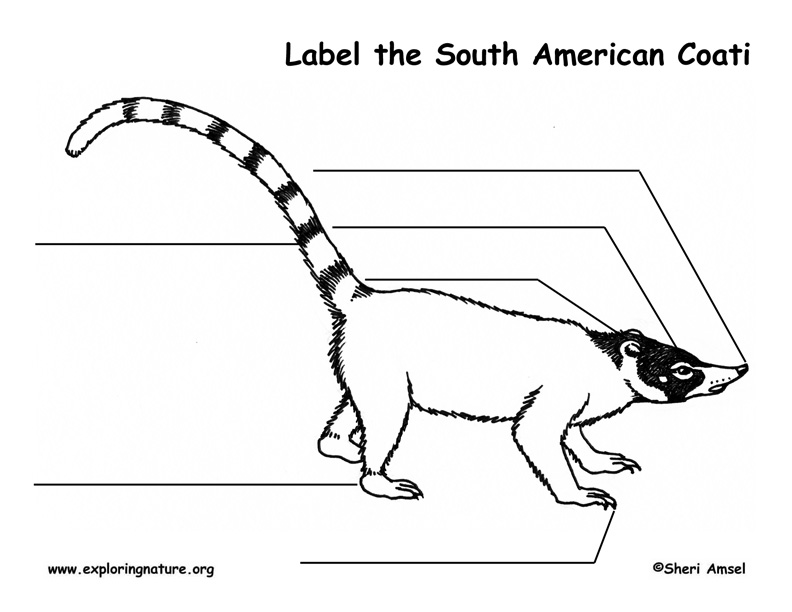 Coati (South American) Labeling Page, Coati Labeling Page