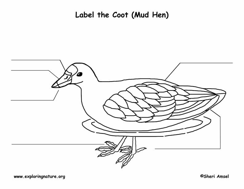 Coot (American) or Mud Hen  Labeling Page