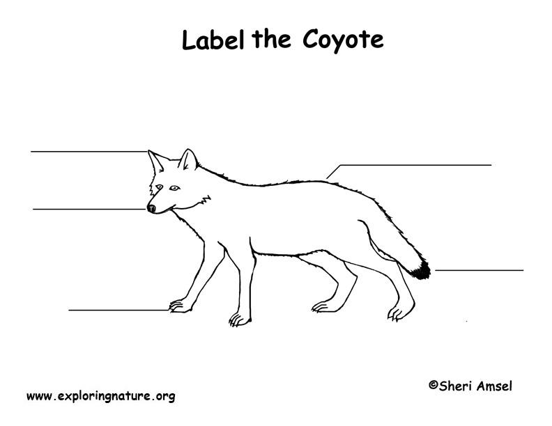 Fein Anatomy Of A Coyote Fotos - Menschliche Anatomie Bilder ...
