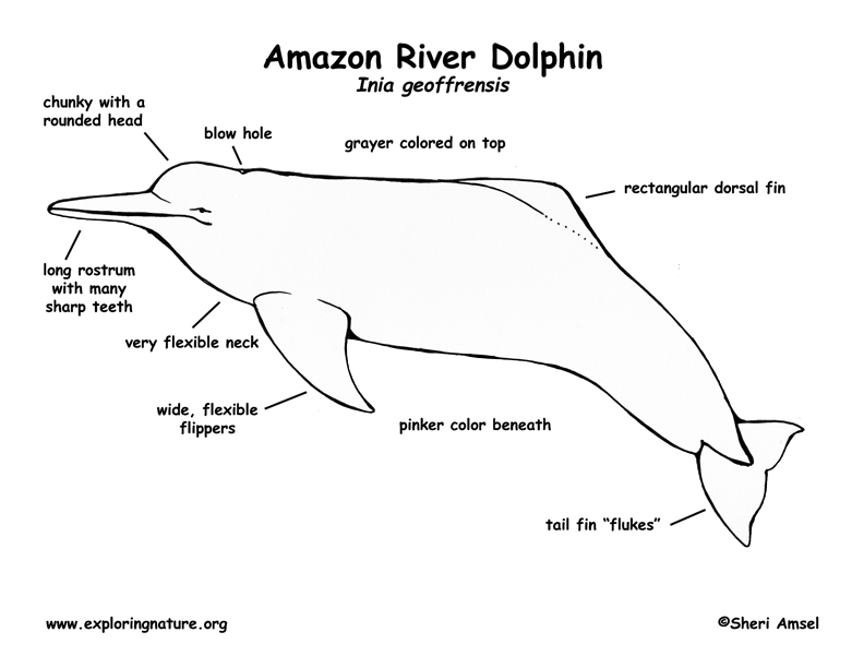Click To See Printable Version Of Two Dolphin Coloring