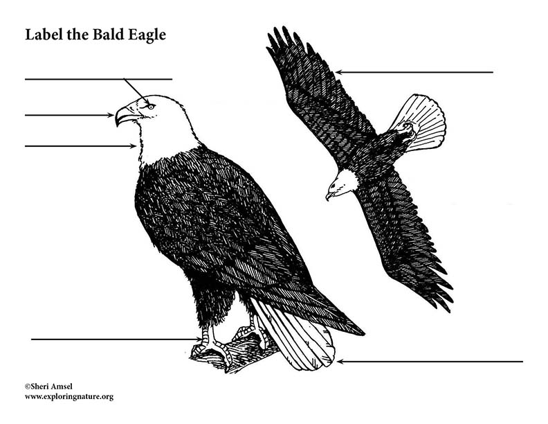 Eagle (Bald) Labeling Page