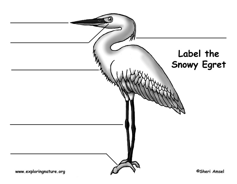Egret (Snowy) Labeling Page