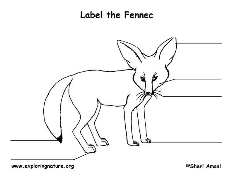 fennec fox skeletal diagram pictures to pin on pinterest