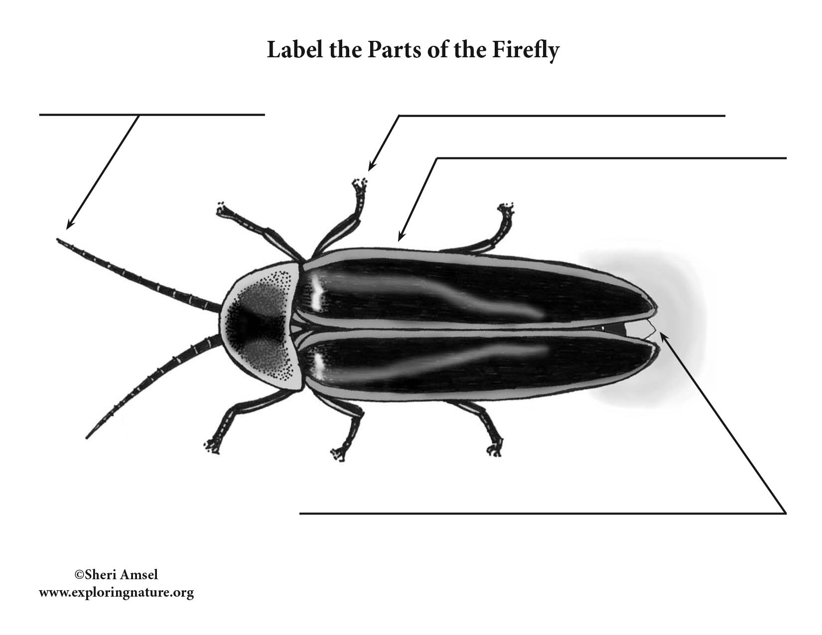 firefly insect diagram ice insect diagram