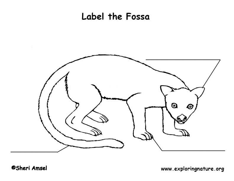 Fossa  Labeling Page