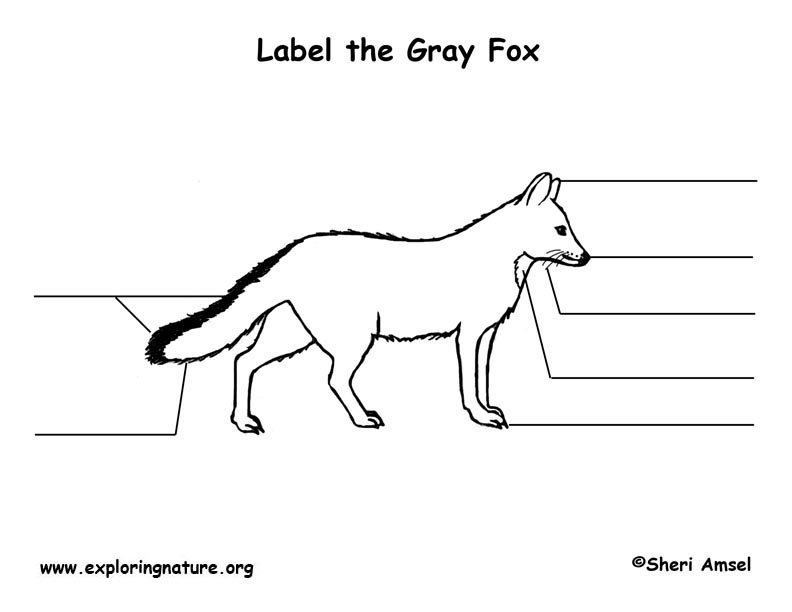 Fox (Gray) Labeling Page, Gray Fox Labeling Page