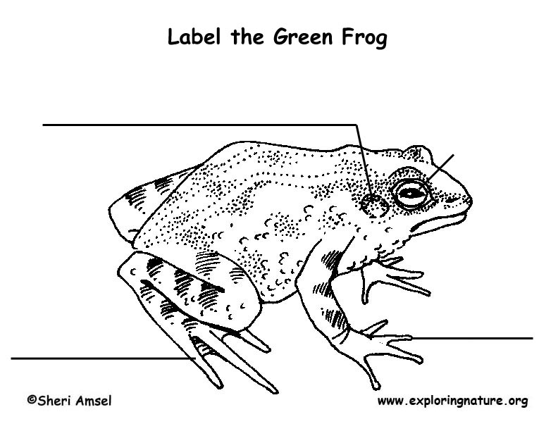 Frog (Green) Labeling Page