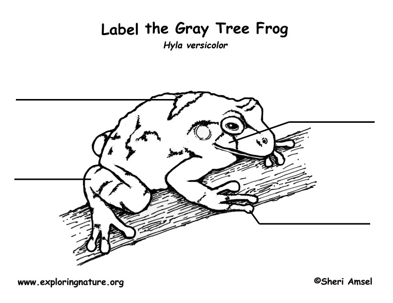 frog  gray tree frog  labeling page