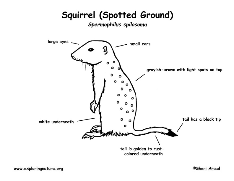 ground squirrel  spotted  labeling page