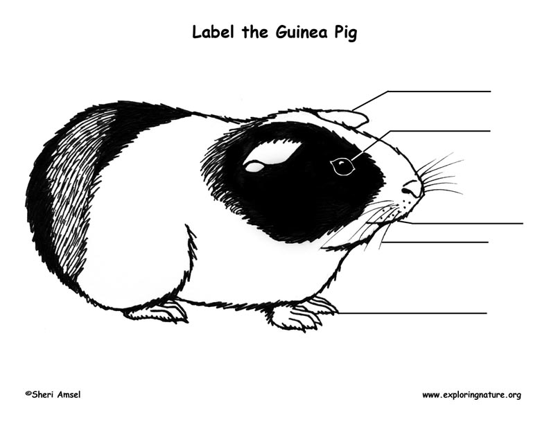 Guinea Pig Labeling Page