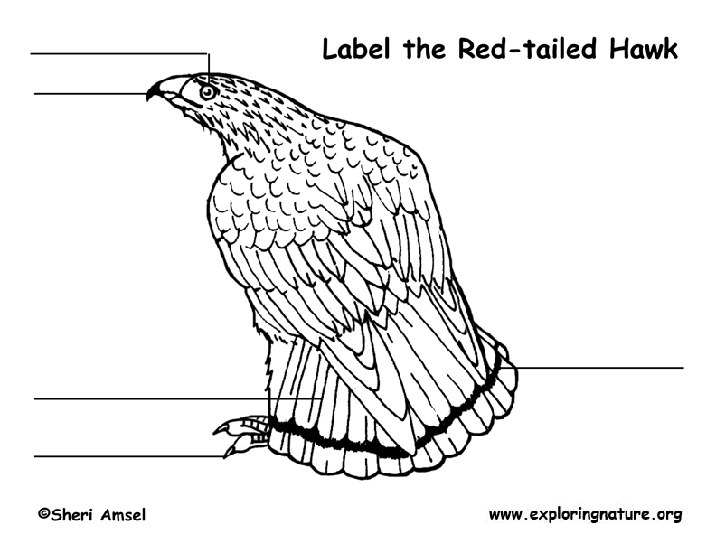 hawk (red-tail) labeling page  exploring nature
