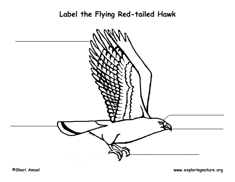 Hawk (Red-tailed) Flying Labeling Page