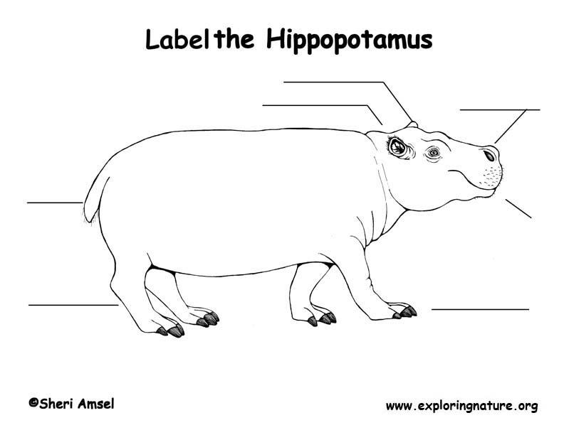 Hippopotamus  Labeling Page