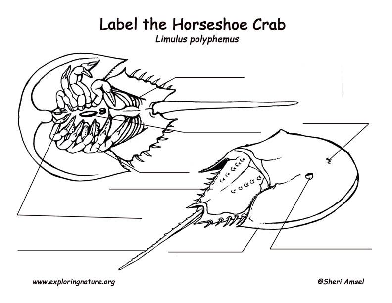 Horseshoe Crab Labeling Page