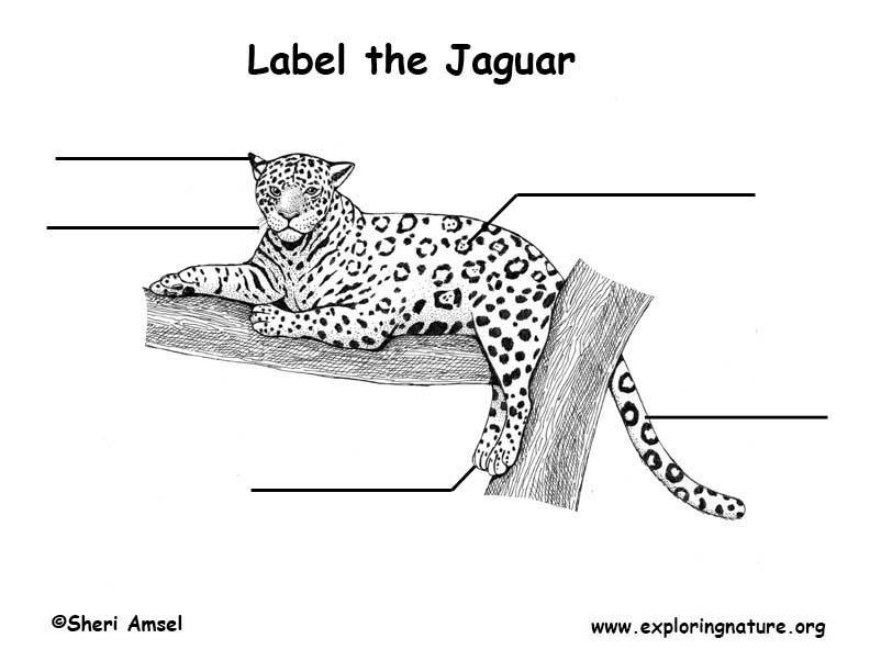 labeled diagram of a jaguar explore schematic wiring diagram u2022 rh appkhi com Jaguar XJ8 Parts Diagram Jaguar XJ6 Wiring-Diagram