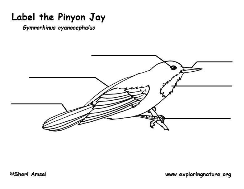 Jay (Pinyon) Labeling Page