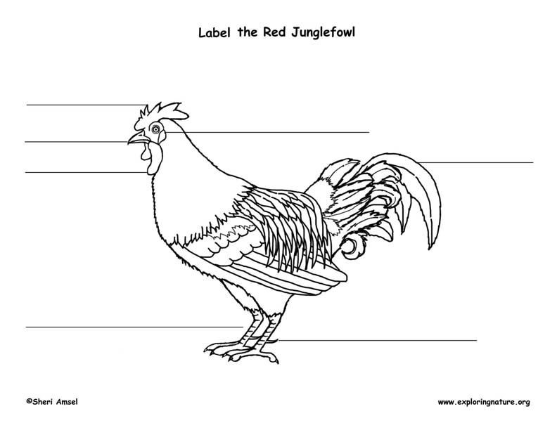 Red Junglefowl Labeling Page