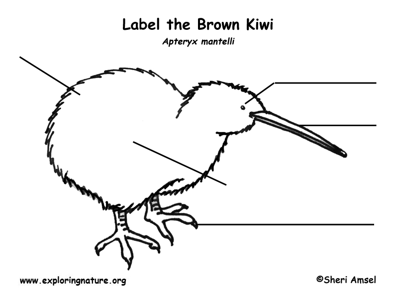 Kiwi (Brown) Labeling Page