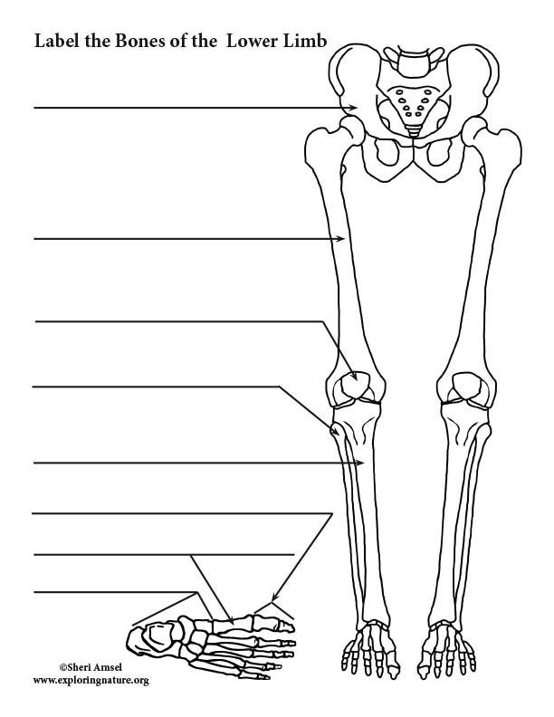 Lower Limb Bones Thigh Leg And Foot Labeling Page