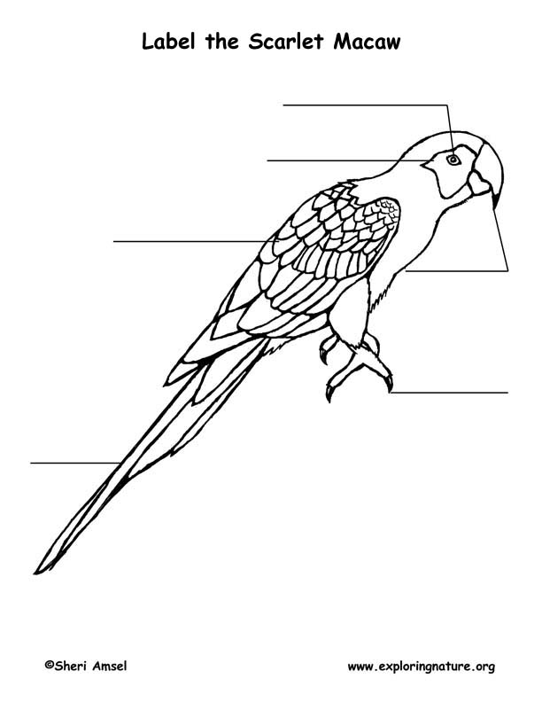 Scarlet Macaw (Parrot) Labeling Page