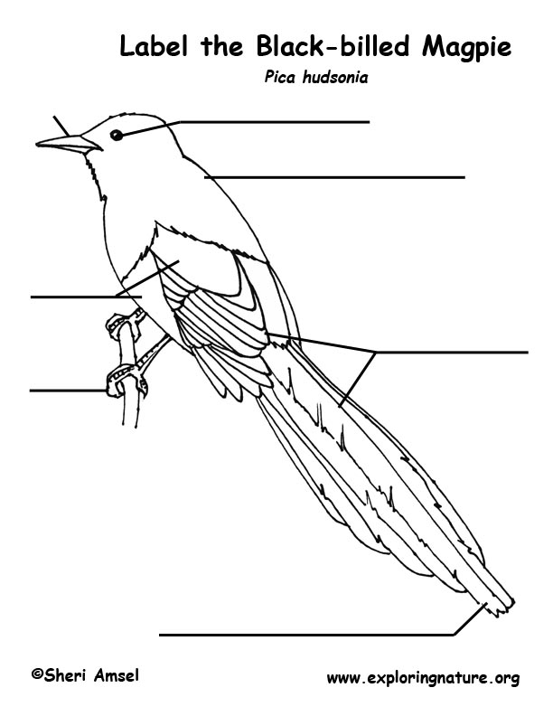 Magpie (Black-billed) Labeling Page
