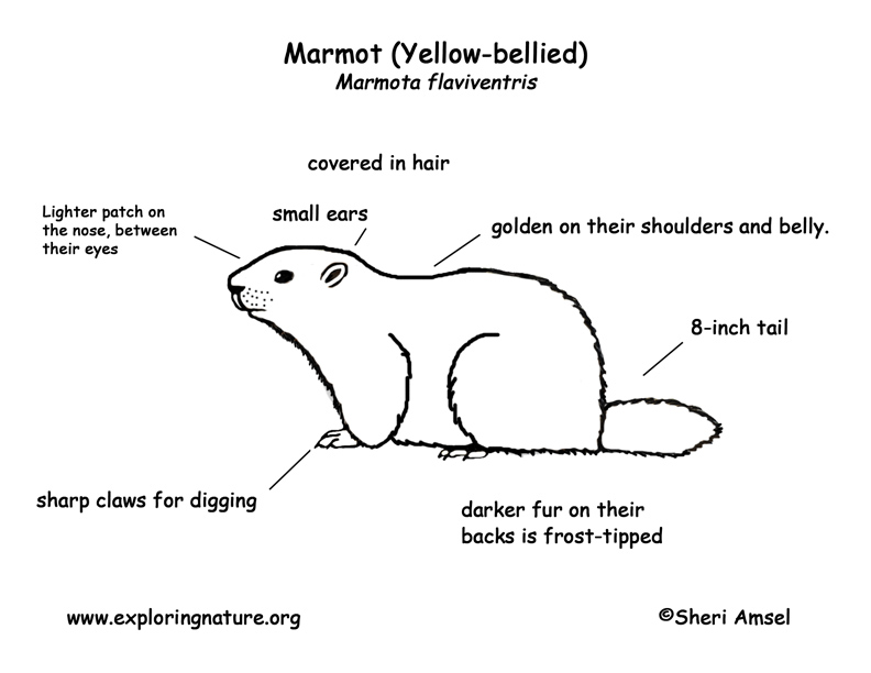 Marmot (Yellow-bellied) Labeling Page
