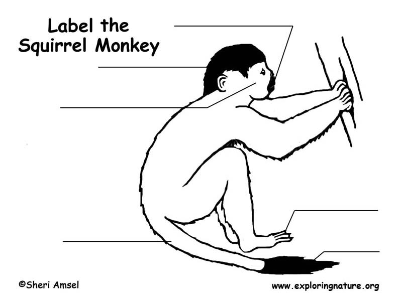 Monkey (Squirrel) Labeling Page, Squirrel Monkey Labeling Page
