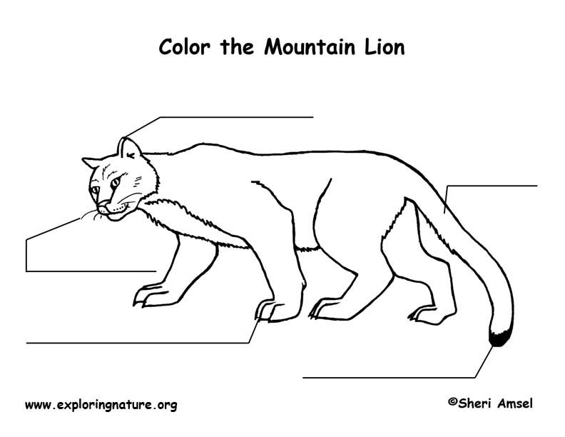 Mountain Lion  Labeling Page