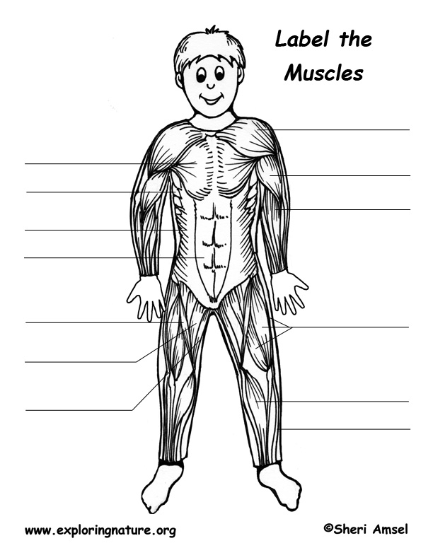 Skeletal Muscles Of The Body Labeling
