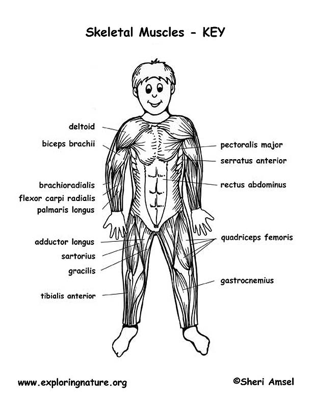 muscles of the body - labeling, Muscles