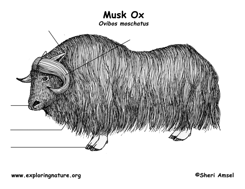 Musk Ox Labeling Page