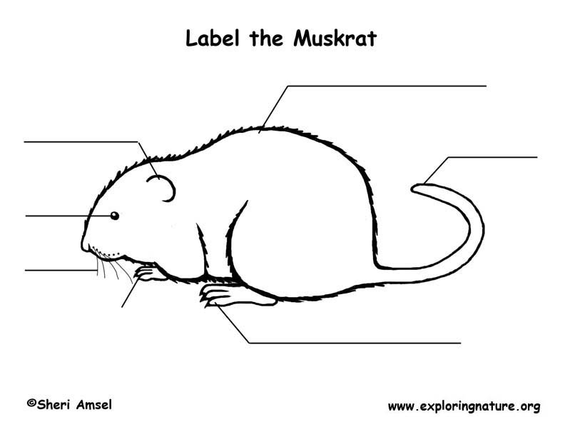 Muskrat  Labeling Page