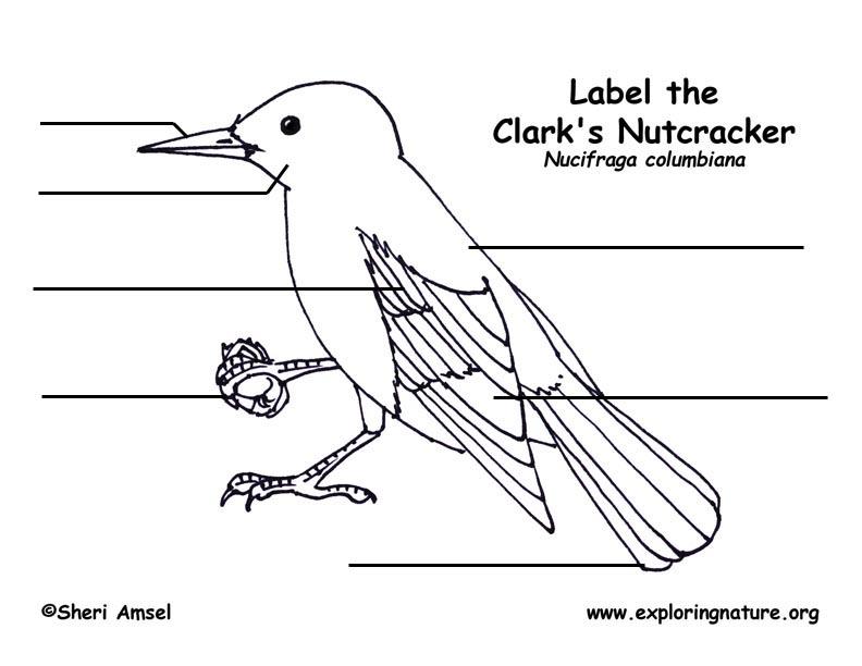 Clark's Nutcracker Labeling Page