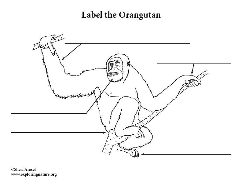 Orangutan  Labeling Page