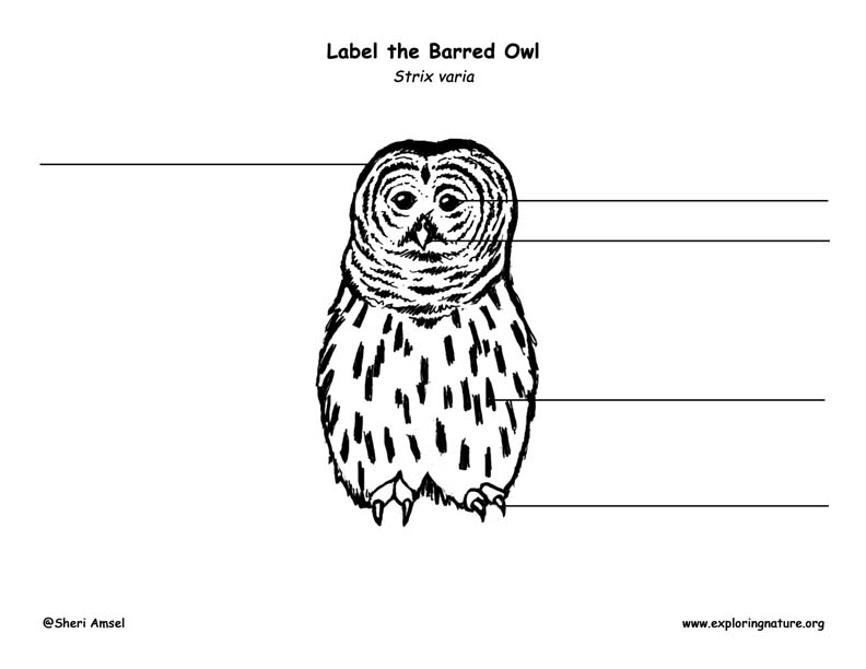 Owl (Barred) Labeling Page