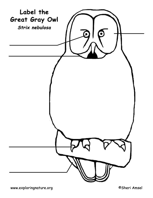 Owl (Great Gray)