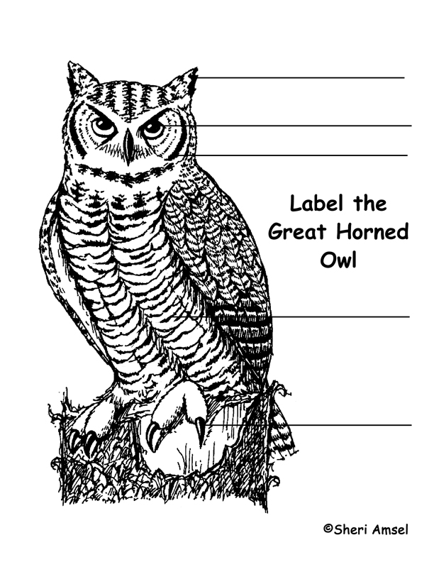 Owl  Great Horned  Labeling Page