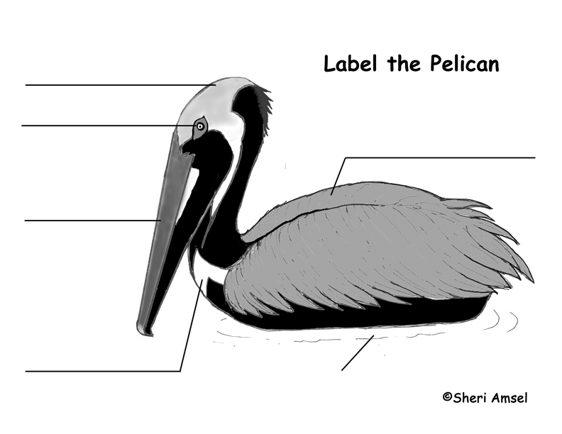 Pelican (Brown) Labeling Page